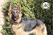 totalk9 personal protection dogs 1