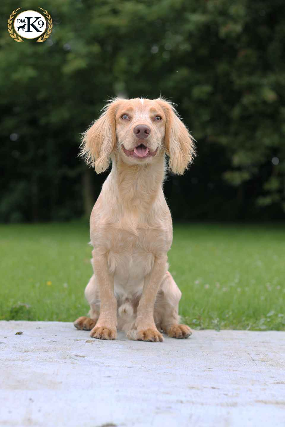 Ralph-Male-Cocker-Spaniel-Pet
