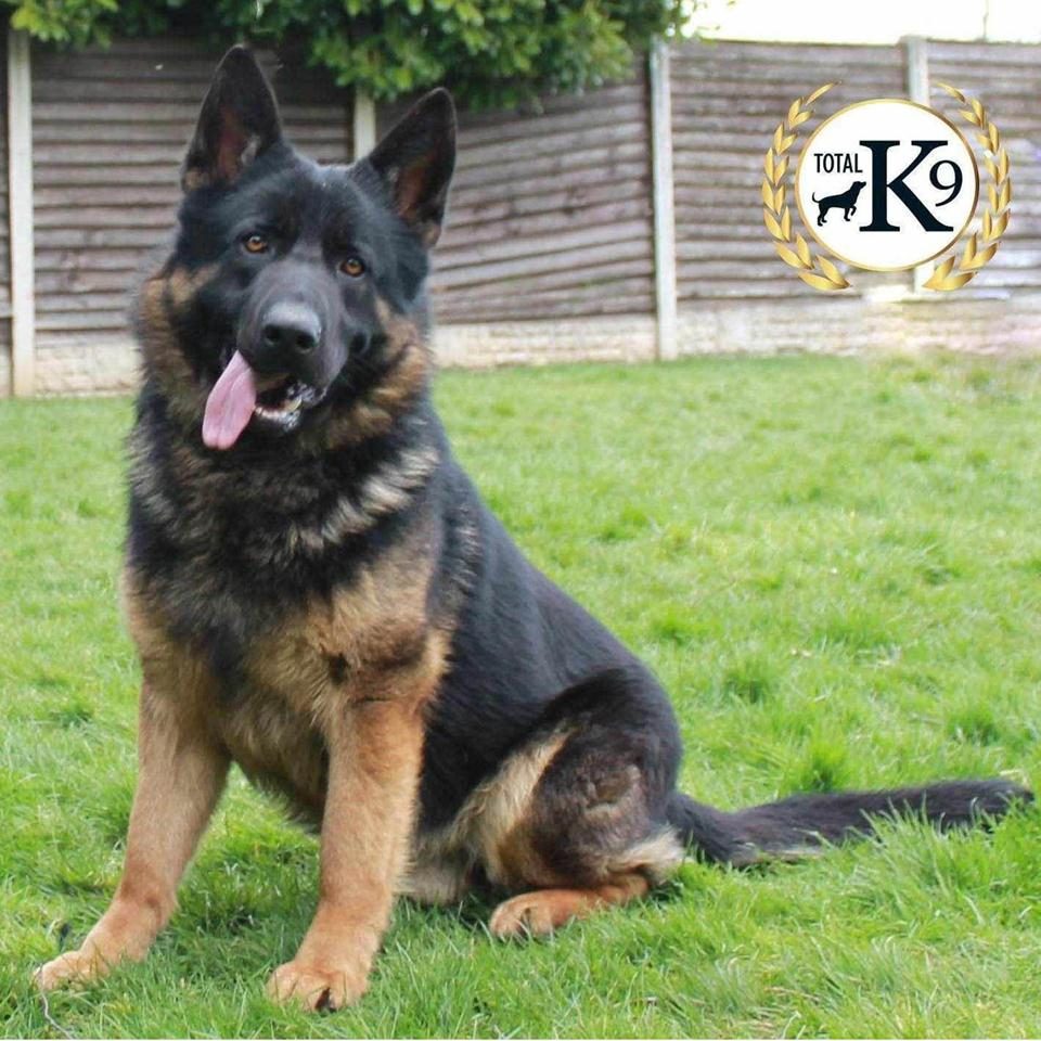 personal protection dog Ace - German Shepherd