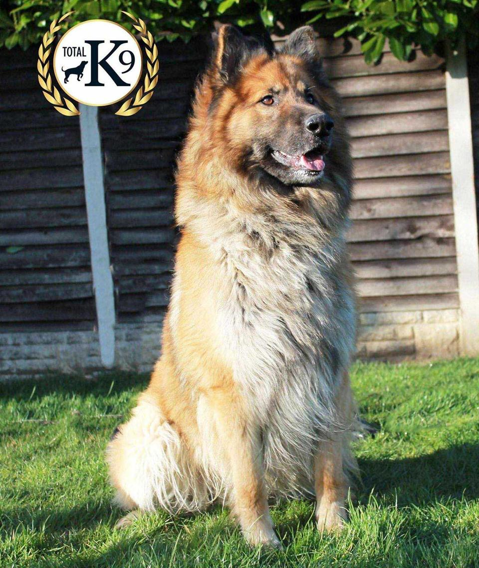personal protection dog Aslan for sale