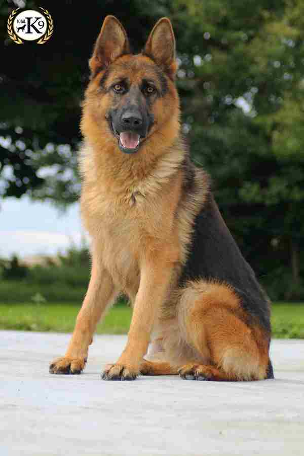INGO DOG for sale - German Shepherd