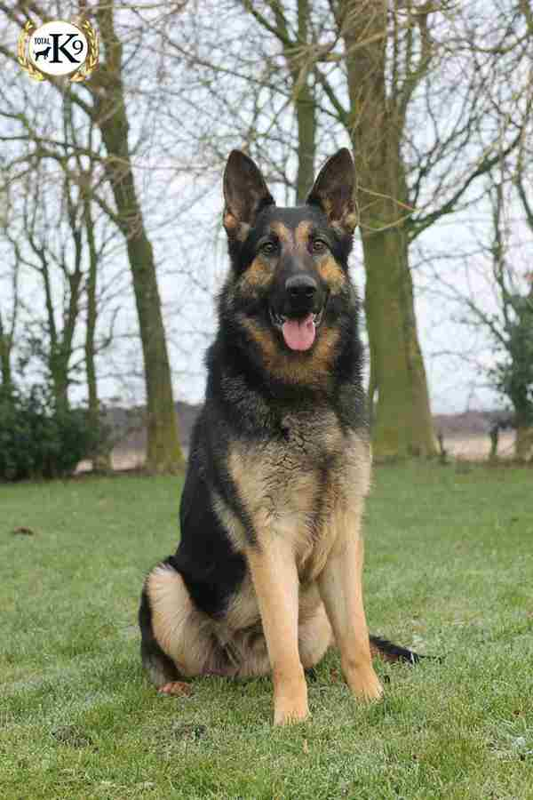 WOLF guard DOG UK - German Shepherd
