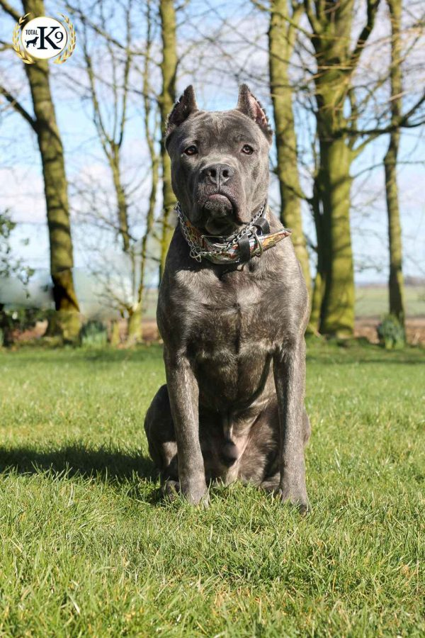 Bullet-Cane-Corso Protection Dog