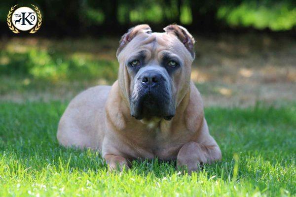Ragna protection dog 2