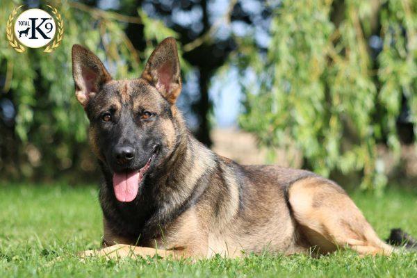 JAX protection dog