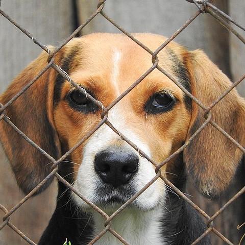 Beagle as a rescue dog